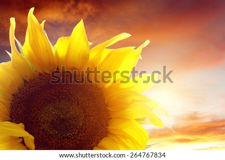 Closeup of sunflower in front of sky - stock photo