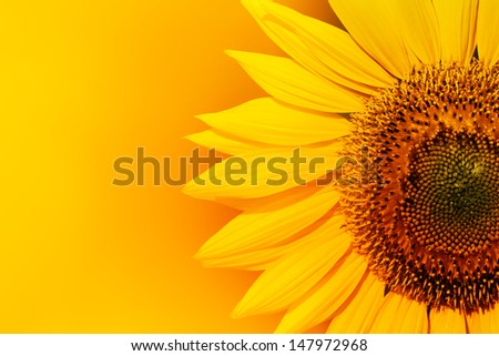 Closeup of sunflower with copyspace - stock photo