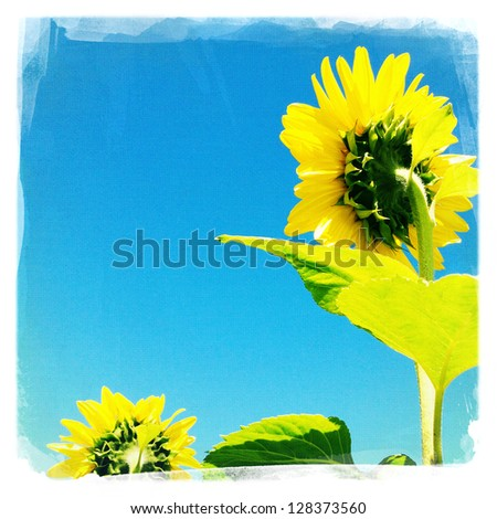 Closeup of sunflowers from behind and blue sky - stock photo