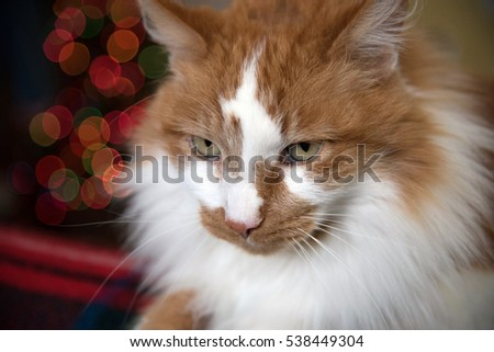 Closeup of tabby orange and white male cat with blurry Christmas tree lights in background