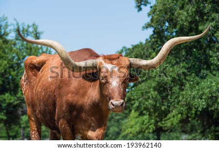 Closeup of Texas longhorn, trees and blue sky on the background - stock photo