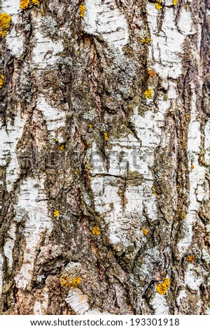 Closeup of textured birch bark with moss - stock photo