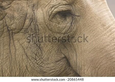 Closeup of the Asian Elephant - stock photo