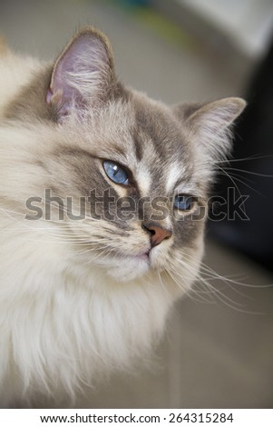 Closeup of the beautiful blue eye of a ragdoll cat. Shallow depth of field. - stock photo