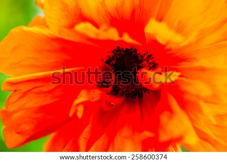 Closeup of the blooming red poppy flower. - stock photo