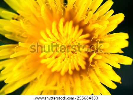 Closeup of the blooming yellow dandelion flower. - stock photo