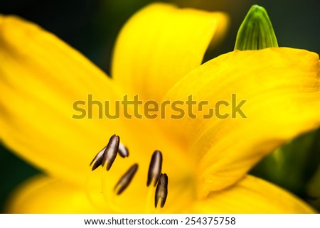 Closeup of the blooming yellow lily flower. - stock photo
