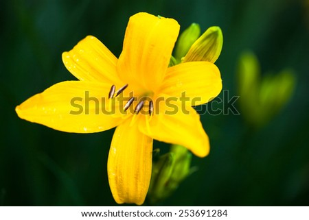 Closeup of the blooming yellow lily flower with dewdrops. - stock photo