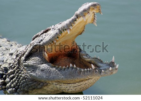 Closeup of the crocodile with open jaws. - stock photo