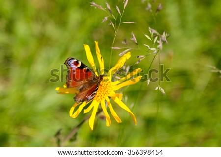 Closeup of the European Peacock Butterfly (Aglais io) perching on yellow Arnica flower on Europe Alps - stock photo