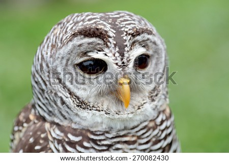 Closeup of the face of a barred owl, Strix varia, with the beak closed - stock photo