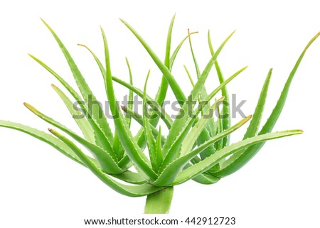 Closeup of the green Aloe Vera isolated on white background.