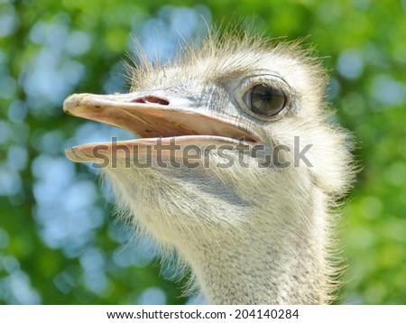 Closeup of the head of a chattering African ostrich