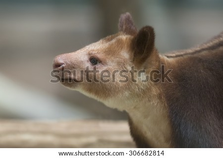 closeup of the head of a goodfellows tree kangaroo side view