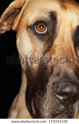 Closeup of the head of a Great Dane isolated over black background - stock photo