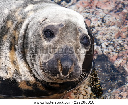 Closeup of the head of a seal (Pinnipeds, often generalized as seals)