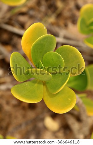 Closeup of the leaves of a succulent plant on a beach. - stock photo