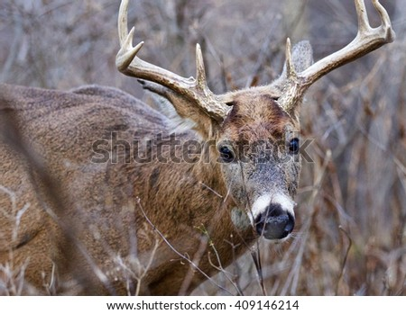 Closeup of the male deer with horns