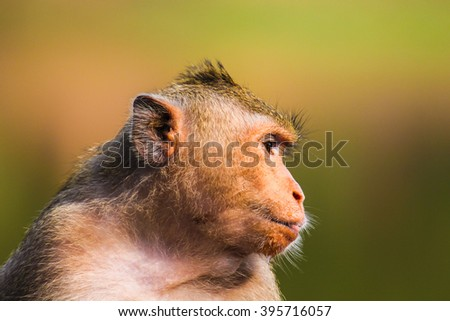 Closeup of the pensive monkey in the jungles of Cambodia
