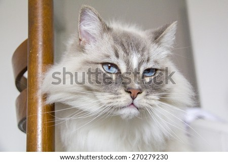Closeup of the ragdoll cat on the chair - stock photo