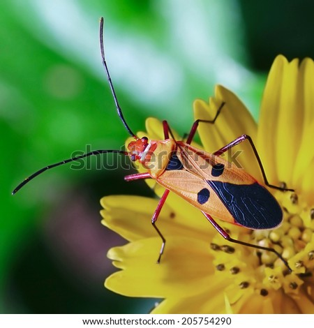 closeup of the red stinkbug with nature background - stock photo