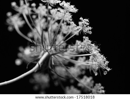 closeup of the umbel of the wildflower Queen Anne's Lace