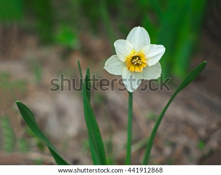 closeup of the white daffodil flower. Single flower blooming early in spring. - stock photo