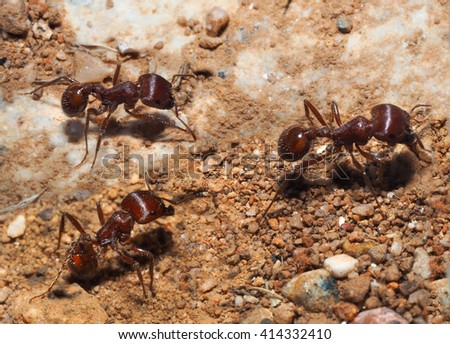 Closeup of Three Long-legged Ants  - stock photo