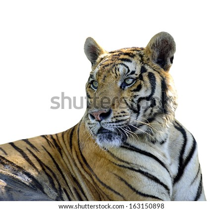 Closeup of Tiger isolated on white background - stock photo