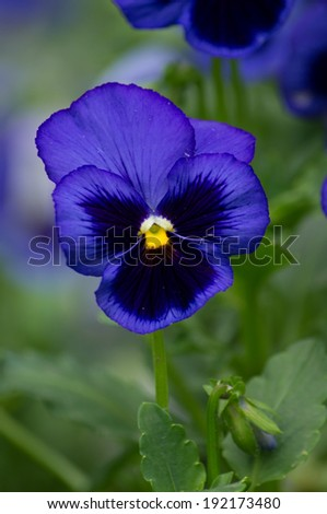 Closeup of tricolor viola flowers in the garden - stock photo