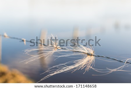 Closeup of tufts of blond horsehair entangled with the barbed wire of a fence at a flooded meadow in the Netherlands. - stock photo