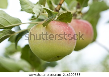 Closeup of two apples growing on the tree, home garden - stock photo