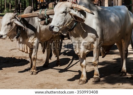Closeup of two oxen that are harnessed to an oxcart/bullock cart
