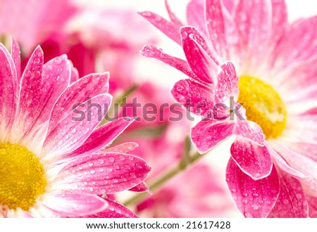 Closeup of two pink daisy-gerbera with waterdrops - stock photo