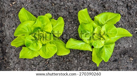 Closeup of two recently planted Butterhead lettuce plants with some rain drops. - stock photo