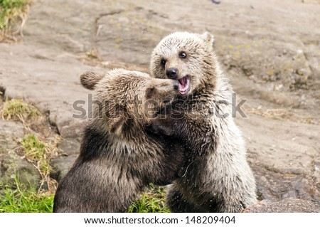 Closeup of two young brown bears playing together.
