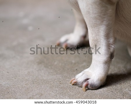 closeup of very small fruit flies, flying in a group around white pug dog legs and foot outdoor try to reach dog's paws