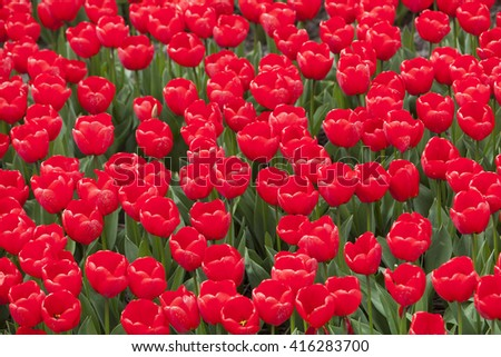 closeup of vibrant red tulips in flower field in the netherlands - stock photo