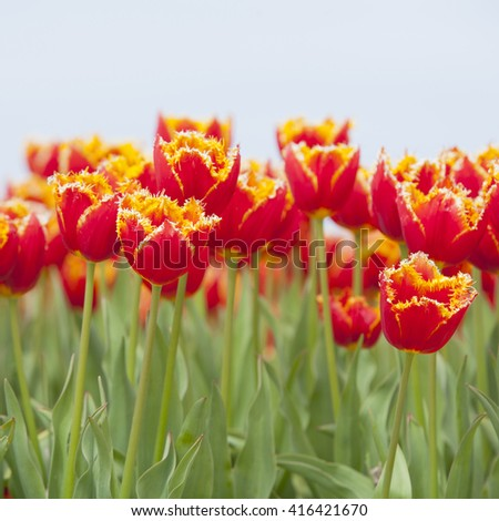 closeup of vibrant red tulips with yellow brims in dutch field - stock photo
