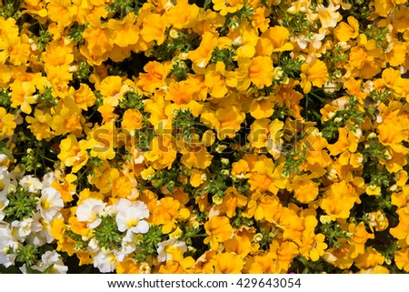 Closeup of vibrant yellow blossoms of the Nemesia plant. - stock photo
