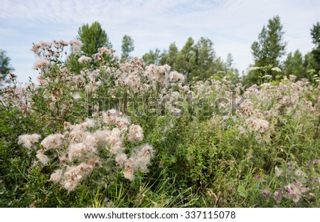 Closeup of violet blooming and overblown flowers of creeping thistle or Cirsium arvense plants between other wild plants and weeds in their natural habitat in the summer season - stock photo