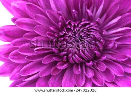 Closeup of violet Chrysanthemum Flower Background - stock photo