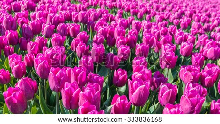 Closeup of violet flowering tulip bulbs in the sunlight on the field of a specialized Dutch bulb grower. - stock photo
