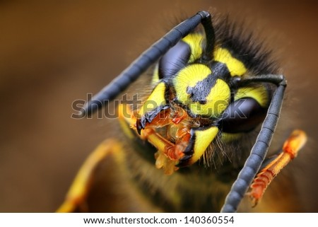 Closeup of wasp Vespula vulgaris in its natural environment