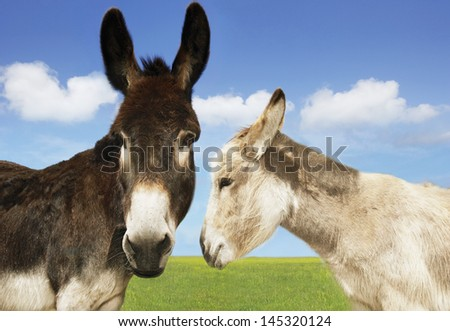 Closeup of white and brown donkeys in the field against sky - stock photo