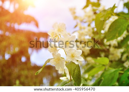 Closeup of white blooming jasmin flowers under soft sunny light - summer floral landscape. Soft filter processing