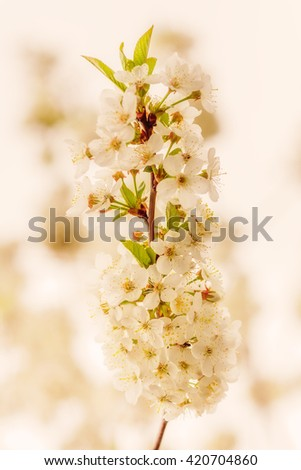 Closeup of white cherry flowers in spring time (shallow dof, warm tones) - stock photo