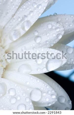 Closeup of white daisy with water droplets
