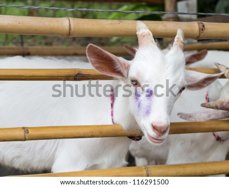 Closeup of white goat in bamboo fold. - stock photo