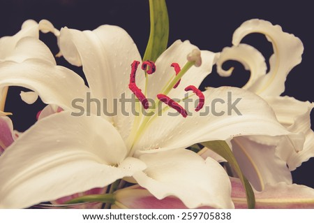 Closeup of white lily toned image. - stock photo